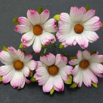 5 Stk. Chrysanthemen 2-tone pink